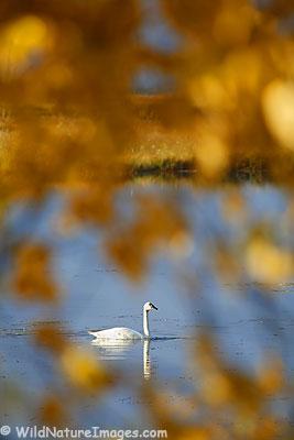 Swan Photos
