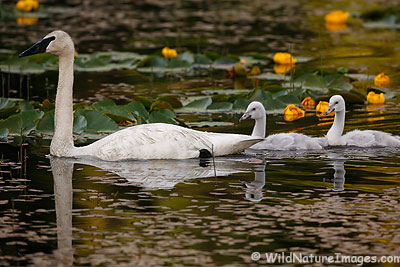 Trumpeter Swans Photos