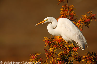 Great Egret photo