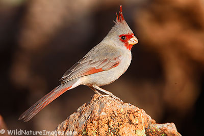 Pyrrhuloxia Photo