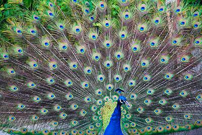 Peacock Photo
