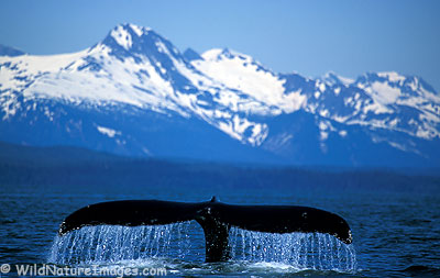 Humpback Whale in Seward