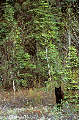 Wolf emerging from the forest in Denali