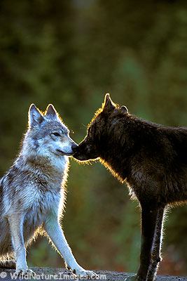 Wolf Greeting