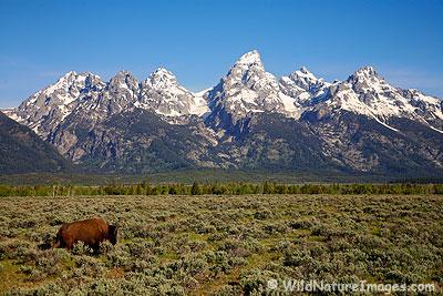 Buffalo and the Tetons
