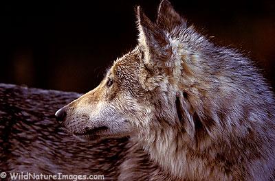 Wolf Proflile