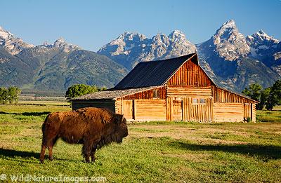 Barn and Buffalo