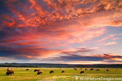 Buffalo at Sunset in Yellowstone National Park, Wyoming.