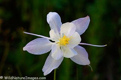 Colorado Columbine Wildflower photo