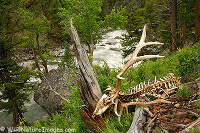 Elk Skeleton